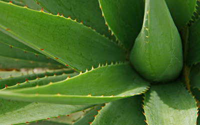 Miracles of Raw Aloe!
