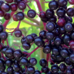 Why You Must Stock Elderberry in Your Medicine Cabinet